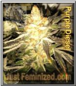 Cali Connection Purple Diesel Cannabis Seeds Marijuana Strain